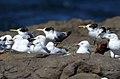 Great Crested Tern (Thalasseus bergii) (31217382652).jpg