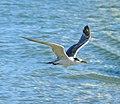Great crested tern 4.jpg