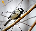 Great tit (22566847397).jpg