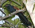 Greater Coucal (Centropus sinensis) - Flickr - Lip Kee (5).jpg