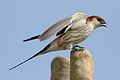 Greater Striped Swallow, Hirundo cucullata (syn. Cecropis cucullata), at Marievale Nature Reserve, Gauteng, South Africa (30420096501).jpg