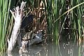 Green Heron and Big Bend Red-eared Slider - Flickr - GregTheBusker.jpg