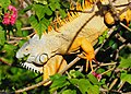 Green Iguana - Iguana iguana, Fairchild Tropical Gardens, Coral Gables, Florida (38038513175).jpg