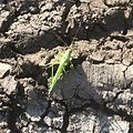 Green Locust 71516162732.jpg