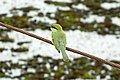 Green bee eater - നാട്ടുവേലിത്തത്ത (8709875948).jpg