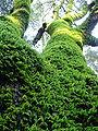 Green tree moss.jpg