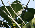 Grey-hooded White-eye (Lophozosterops pinaiae) - Flickr - Lip Kee (1).jpg