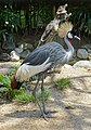 Grey crowned crane at Bali Bird Park.jpg