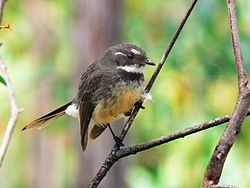 meaning of fantail