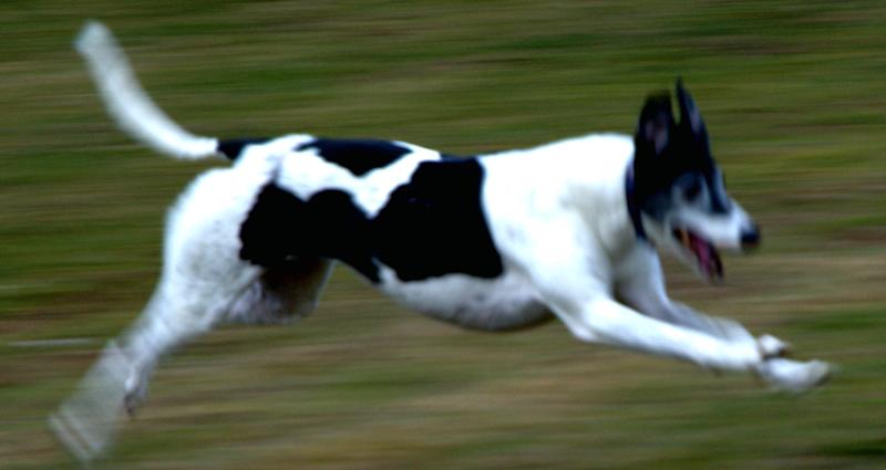 Greyhound in flight