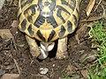 Griechische Landschildkröte Eiablage - panoramio.jpg
