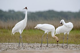 Grus americana -Aransas National Wildlife Refuge, Texas, USA -three-8.jpg
