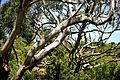 Gum Trees Lines (6759012555).jpg