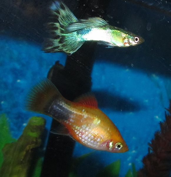 File:Guppy with Platy3.jpg