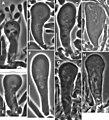 Gymnopus perforans transatlanticus (10.3897-mycokeys.18.10007) Figure 45.jpg