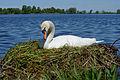 Höckerschwan mit Nest, Cygnus olor, nests with eggs 09.JPG
