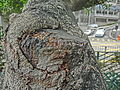 HK 上環 Sheung Wan 般咸道休憩花園 Bonham Road Rest Garden Feb-2014 tree trunk 02.JPG