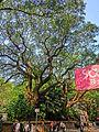 HK TST 尖沙咀 Haiphong Road 海防道 32 Camphora tree Mar-2013.JPG