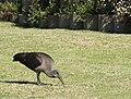 Hadeda Ibis foraging on suburban lawn EOS 02497s.JPG