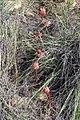 Haemanthus sanguineus (Amaryllidaceae) (4575531563).jpg