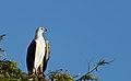 Haliaeetus leucogaster -Yala National Park, Sri Lanka-8.jpg