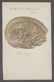 Haliotis midae - - Print - Iconographia Zoologica - Special Collections University of Amsterdam - UBAINV0274 081 14 0003.tif