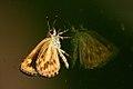 Hampsons hedgehopper 02 (3651809331).jpg