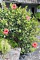 Haría, Jameos del Agua, Hibiscus rosa-sinensis-2.JPG