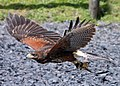 Harris Hawk - Flickr - exfordy.jpg