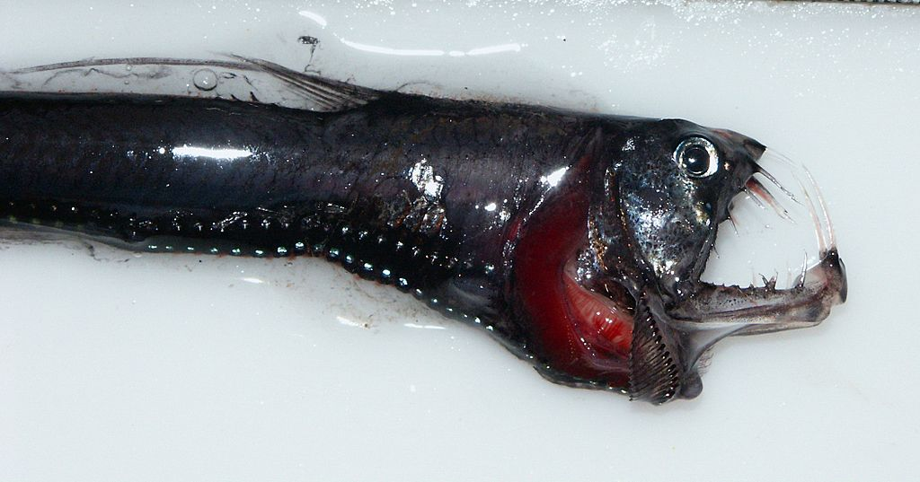 Head of a pacific Viperfish 4037