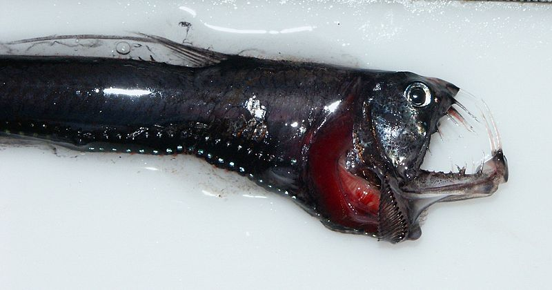 File:Head of a pacific Viperfish 4037.jpg