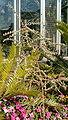 Hechtia spec HabitusFruits BotGardBln0906.jpg