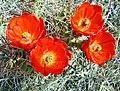 Hedgehog Cactus Flowers, JT NP 4-13 (15176128157).jpg