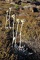 Helichrysum arnicoides.JPG
