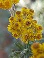 Helichrysum splendidum04.jpg