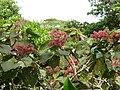 Heliocarpus sp Costa Rica 1.jpg