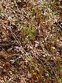 Heliophila pinnata gifberg 01.jpg