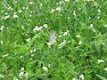 Heliotropium curassavicum y mariposa (7554488790).jpg