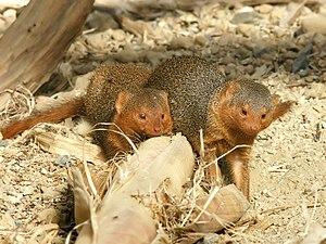 Common dwarf mongoose - Image: Helogale parvula