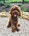 Henley the cockapoo.jpg
