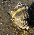 Hermit Crab recycling a Crown Conch shell at Canaveral National Seashore - Flickr - Andrea Westmoreland.jpg
