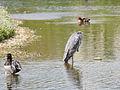 Heron (14192155990).jpg