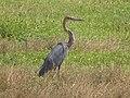 Heron goliath Parc Pendjari.jpg