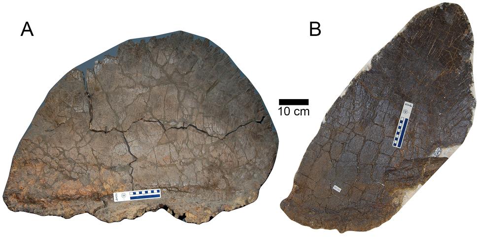 Hesperosaurus plates