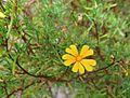 Hibbertia stellaris 1.jpg