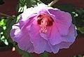 Hibiscus sp. (rose mallow) (Newark, Ohio, USA) 7 (42586458224).jpg