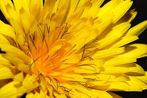Detail of a Common Hawkweed flower (Hieracium ...