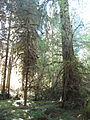 Hoh Rainforest - Olympic National Park - Washington State (9780375844).jpg