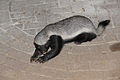 Honey Badger (Mellivora capensis) (17425848662).jpg