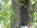 Honey Locust (Gleditsia triacanthos) P9190052.jpg